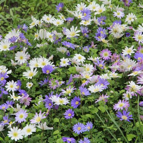 anemone blanda anemone blanda mix