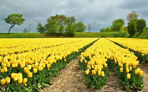 schöne bäder fotos gelbe tulpen feld sch 246 ne b 228 ume hintergrundbilder gelbe
