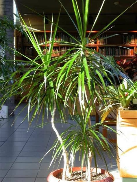 indoor palm images    typical types  palm