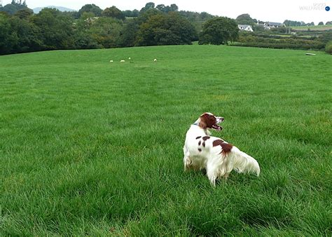 red setter dog wallpaper meadow setter irish red and white dogs wallpapers