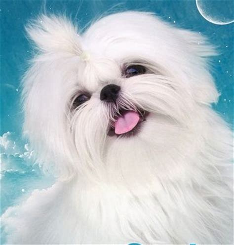 pretty shih tzu 1000 images about shih tzu pictures on maltese pets and
