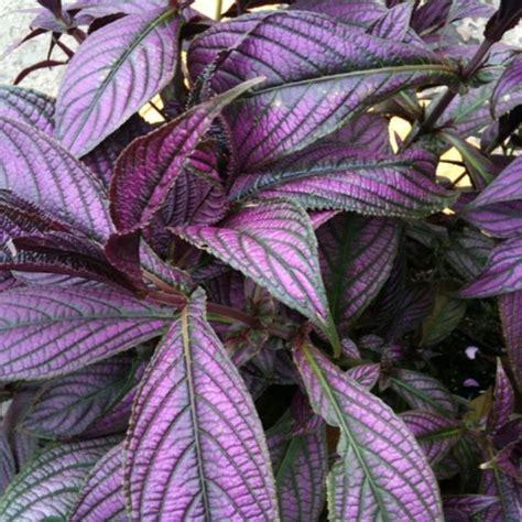 purple foliage plants shield s dyerianus friends school plant sale