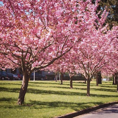 kwanzan cherry  sale   tree center