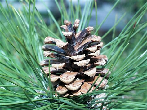 pine tree fruit pictures isu forestry extension tree identification austrian