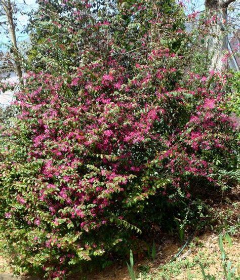 large evergreen flowering shrubs backyard nature large loropetalum