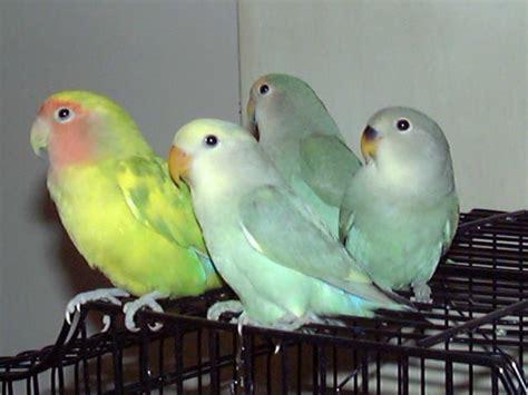 understanding the different types of lovebirds