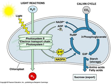 cell energy photosynthesis and respiration section 6 1 answers unit 6 photosynthesis respiration cp biology