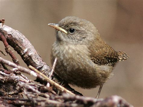 baby wren birds of wisconsin pinterest