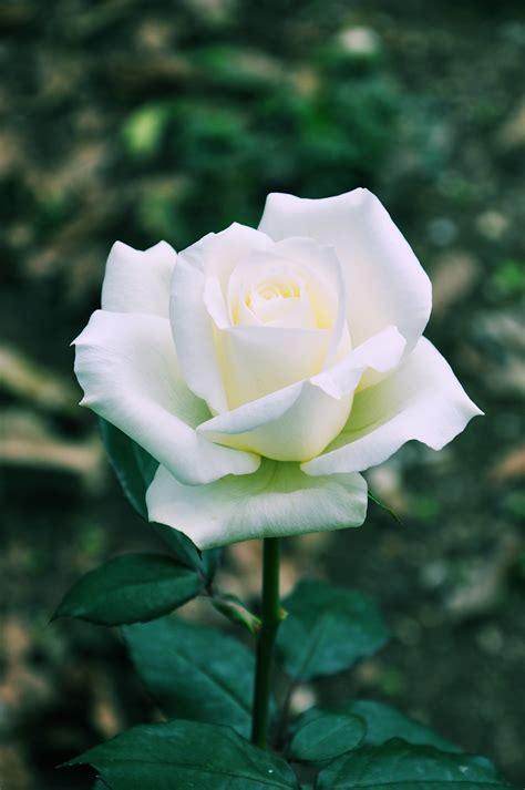 imagen de una hermosa rosa blanca para whatsapp banco de im 225 genes para ver disfrutar y compartir