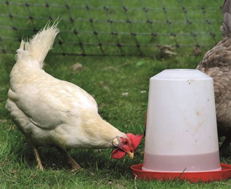 The Chicken Keeper S Problem Solver adding a new chicken to your flock quarto homes