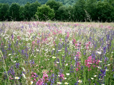 wildflower meadow pictures