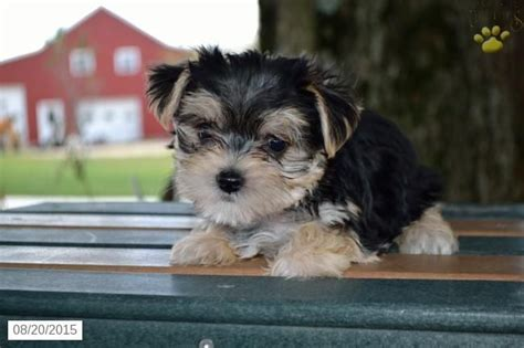 yorkie bichon mix for sale in ohio 1000 ideas about morkies for sale on morkie puppies for sale morkie