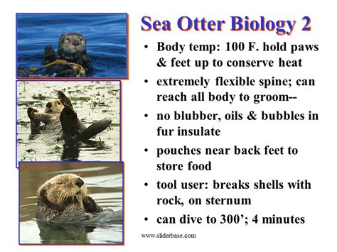 sea otter diagram search results for 5 muscles of human body calendar 2015