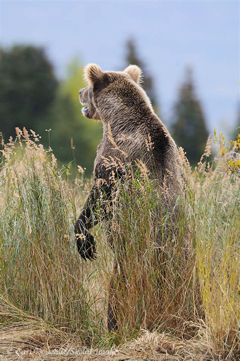 grizzly photo standing upright katmai national park alaska
