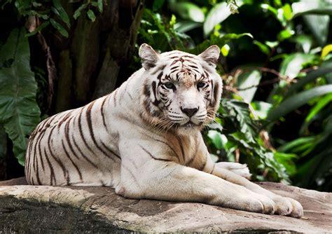 Singapore Zoo With Tram Ride Child cebu air travel tours pte ltd singapore zoo with tram ride