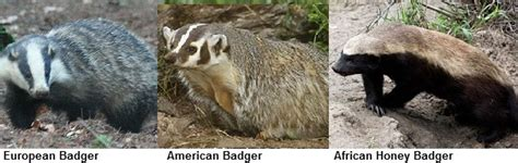 badger facts animal facts encyclopedia