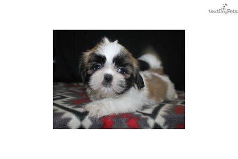 shih tzu for sale in houston shih tzu puppy for sale near houston 2099f041 cae1