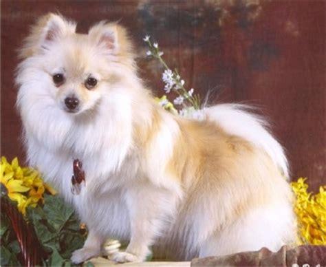 what were pomeranians bred for pomeranian pomeranians breed