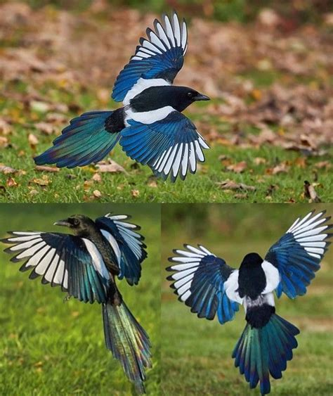 sun shining on the multi coloured wings of a magpie