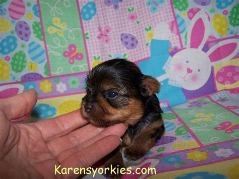 baby yorkies for sale yorkie puppies for sale pups2 20005 1 jpg breeds picture
