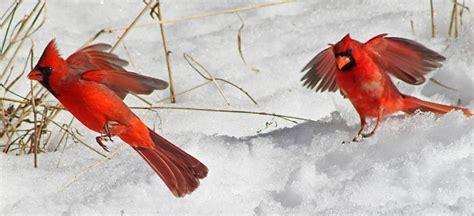 what do cardinals eat how to attract cardinals cardinal