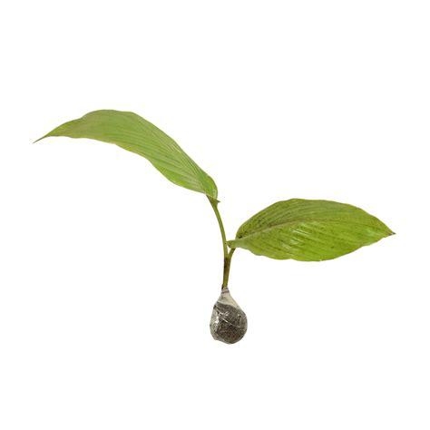 Kebun Bibit Tanaman Temu Mangga tanaman temu mangga