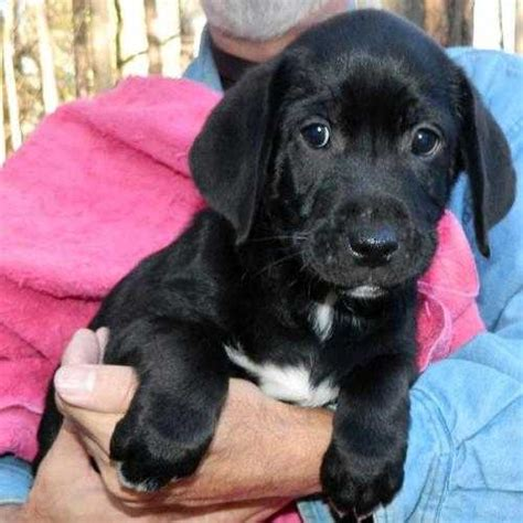 puppies for adoption in ga other breeds dogs for sale or adoption in for sale ads