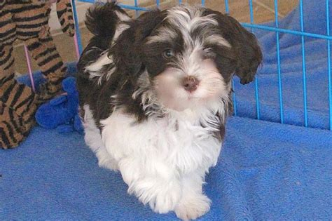 tri color havanese chocolate havanese puppy chocolate havanese puppy for sale chocolate havanese