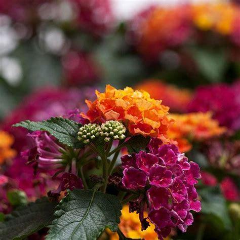 high heat plants 39 best images about high heat drought tolerant flowers