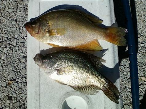 yellow crappie yellow crappie page 4