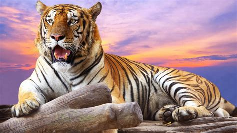 tiger print full hd wallpaper and background image tiger full hd wallpaper desktop backgrounds free download