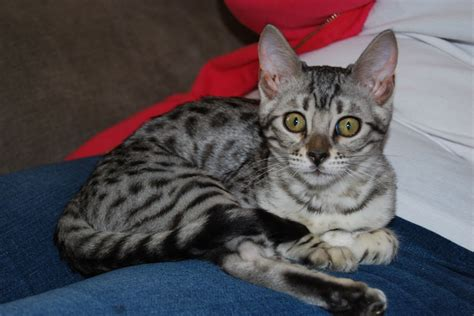 cats for sale plymouth bengal silver spotted kitten plymouth