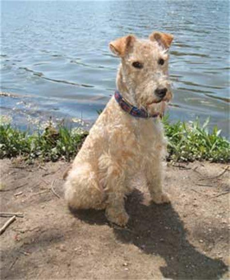 lakeland terrier puppies lakeland terrier lakeland terriers breed