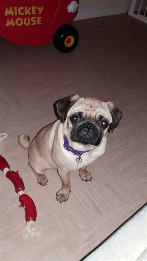 7 month pug beautiful 7 month pug bournemouth dorset pets4homes
