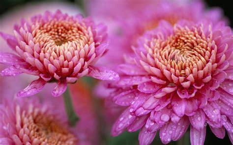 Chrysanthemum Beautiful Pink Flower Drops Water Nature Hd