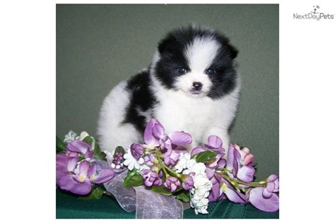 pomeranian breeders south west pomeranian puppy for sale near southwest va virginia 2ab4836a a961
