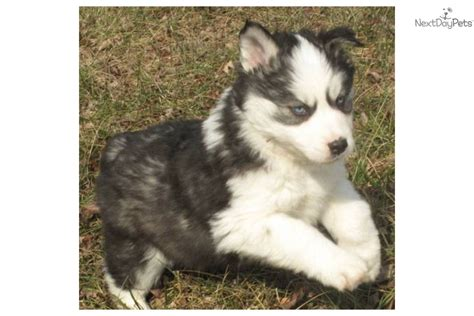 wooly husky puppy wooly coat siberian husky puppies breeds picture
