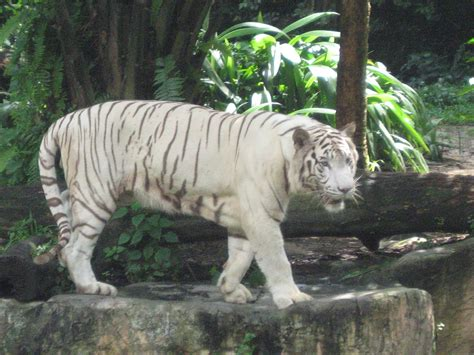 White Zoo file white tigers singapore zoo 2 jpg