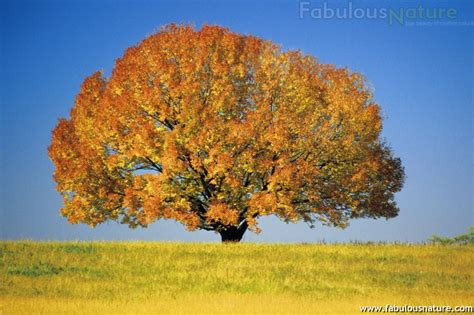 colorful trees trees pictures colorful maple tree trees wallpapers