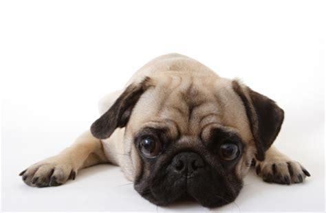pug heat your pug s health problems pugbase