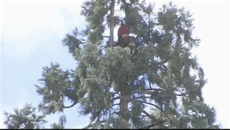 seattle tree seattle s quot in tree quot charged in sequoia standoff cbs news