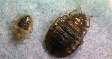 Bed Bugs Jump by Health Department Sees Big Increase In Reports Of Bed Bugs