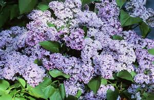 lilacs bush lilac time red slipper diary