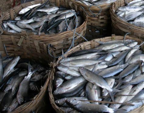 Benih Ikan Bandeng budidaya ikan bandeng