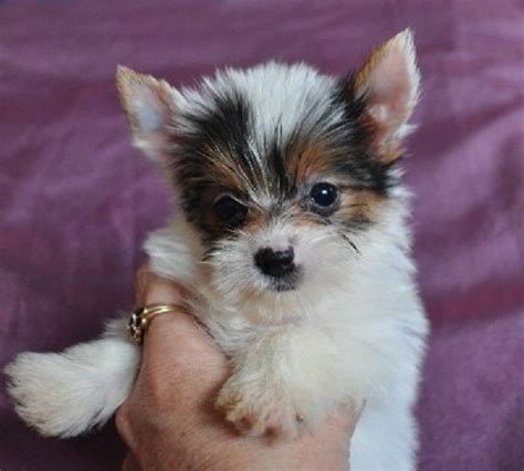 king charles yorkie puppies for sale best 25 puppies for sale ideas on tiny puppies for sale tiny dogs