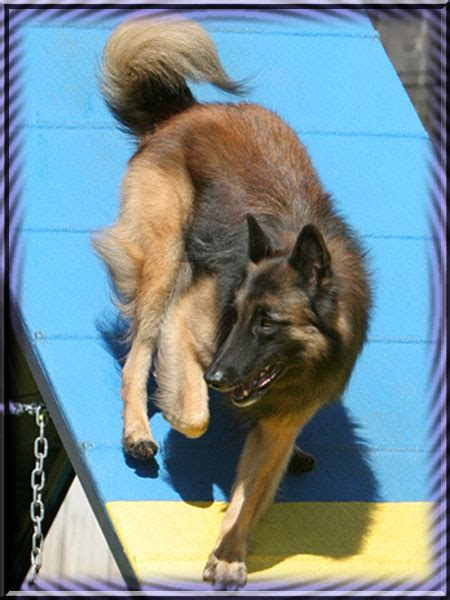 Lis Gril Ayla vegas valley obedience club vvdoc breed of the month june 2012 belgian tervuren