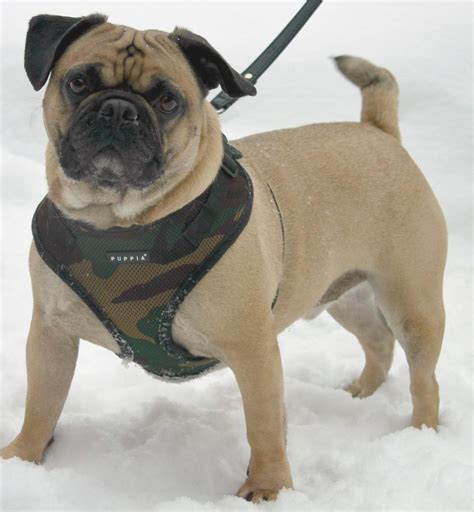 ottawa pug rescue olm pet of the week meet dante
