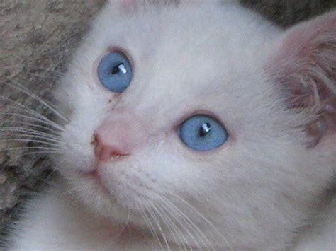 imagenes ojos blancos gatos blancos con ojos azules y sordera cuando amas fuerte