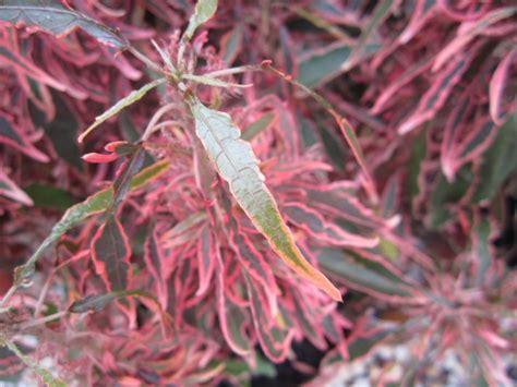 Acalypha Wilkesiana Blaze fijian plant acalypha godseffiana firestorm