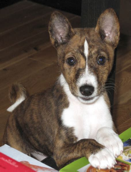 basenji puppy cost picture of basenji puppy in three tones png hi res 720p hd